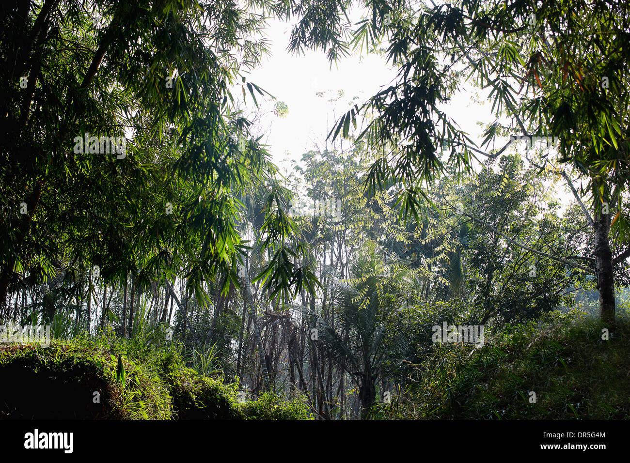 Los árboles en la India por la mañana temprano Foto de stock