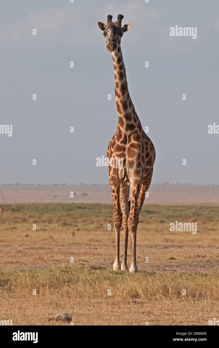 Jirafa común en el Parque Nacional Amboseli Kenia África Oriental Imagen De Stock