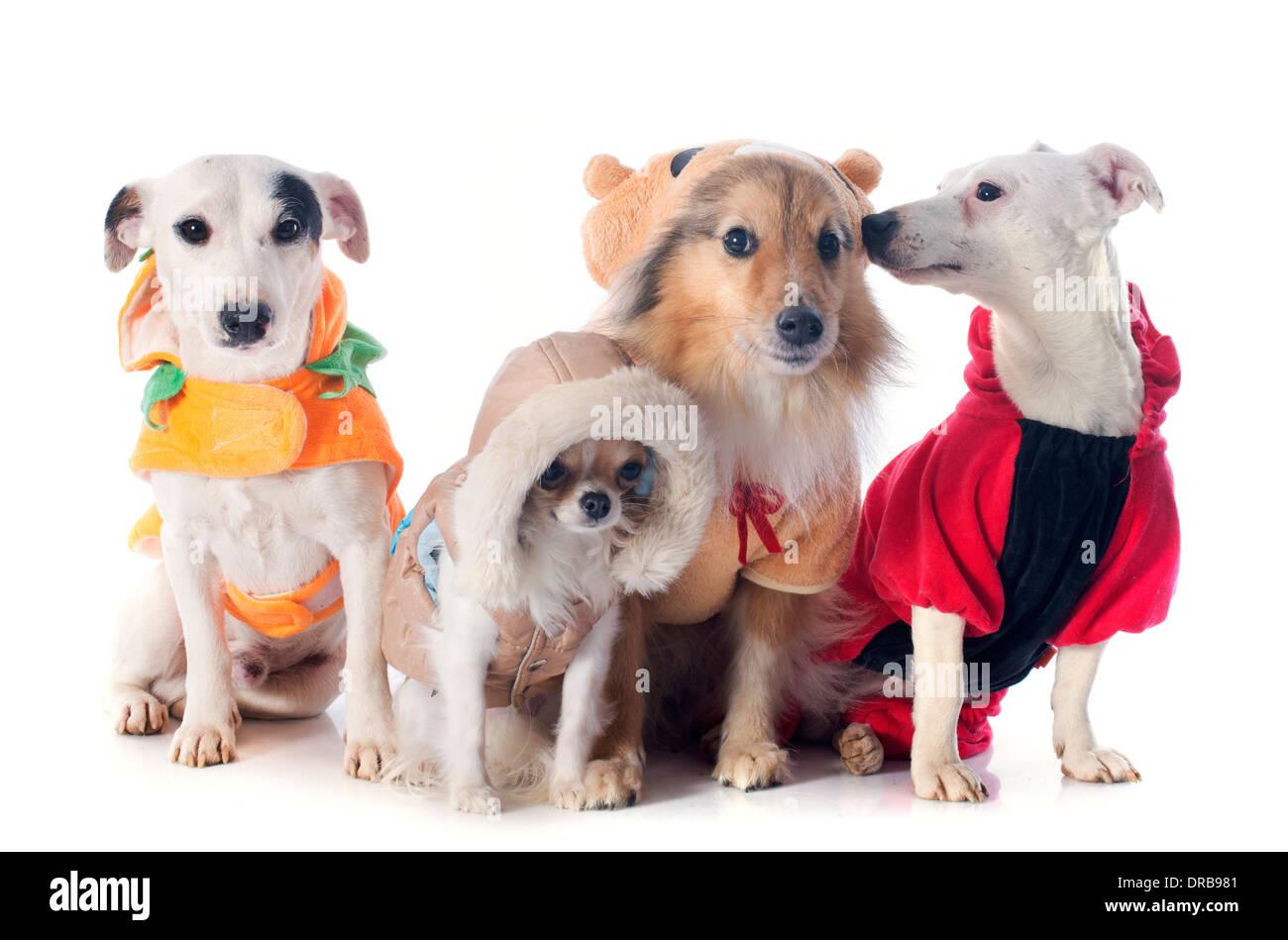 994b97372ccc Perros Vestidos Imágenes De Stock & Perros Vestidos Fotos De Stock ...