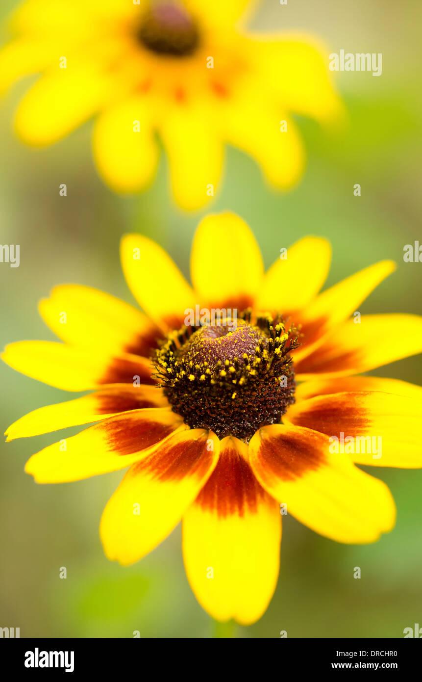 Cerca de black-eyed Susan flor Foto de stock