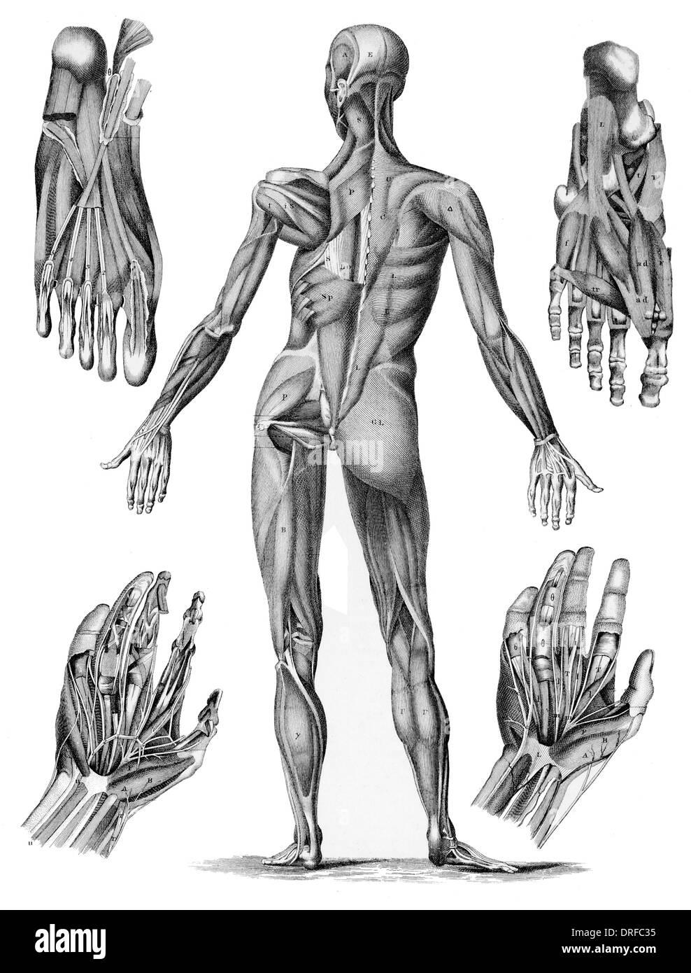 Anatomía muscular humana - Macho músculos desde el posterior, incluidas las manos y pies Imagen De Stock