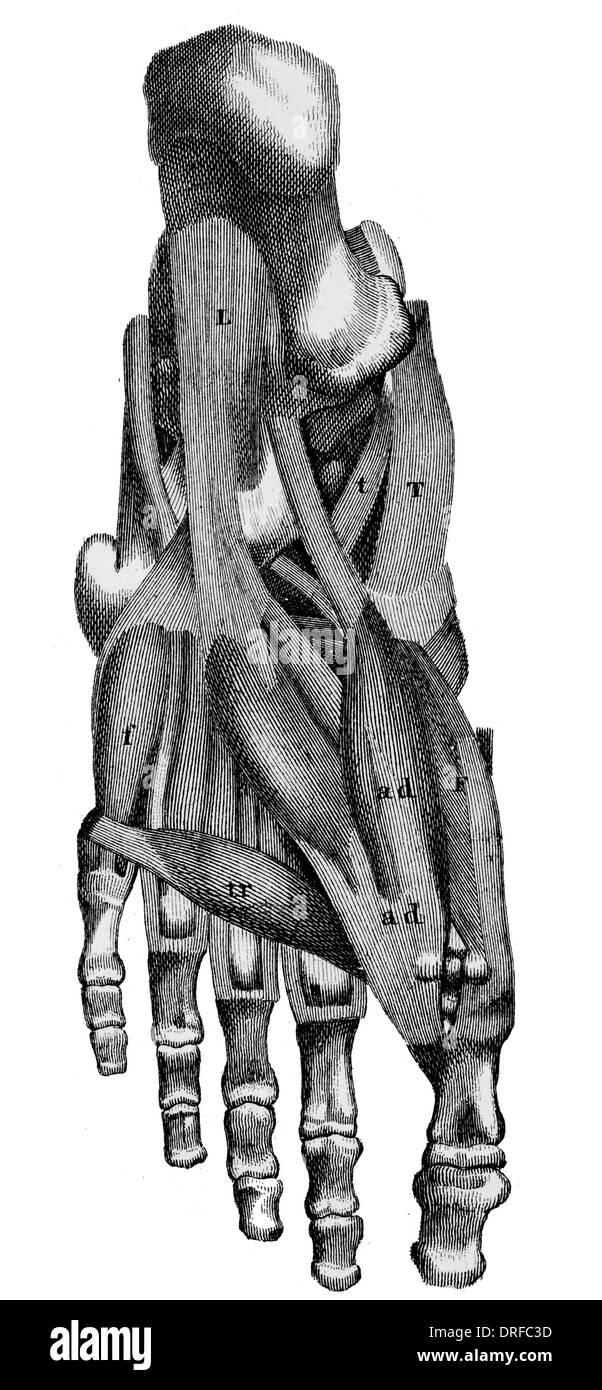 Los músculos del pie humano Foto & Imagen De Stock: 66106977 - Alamy