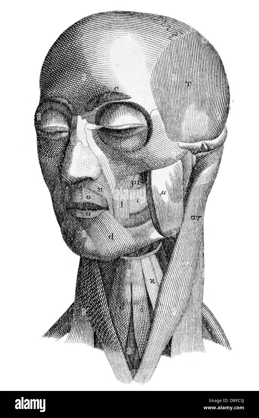 Los músculos de la cabeza humana Imagen De Stock