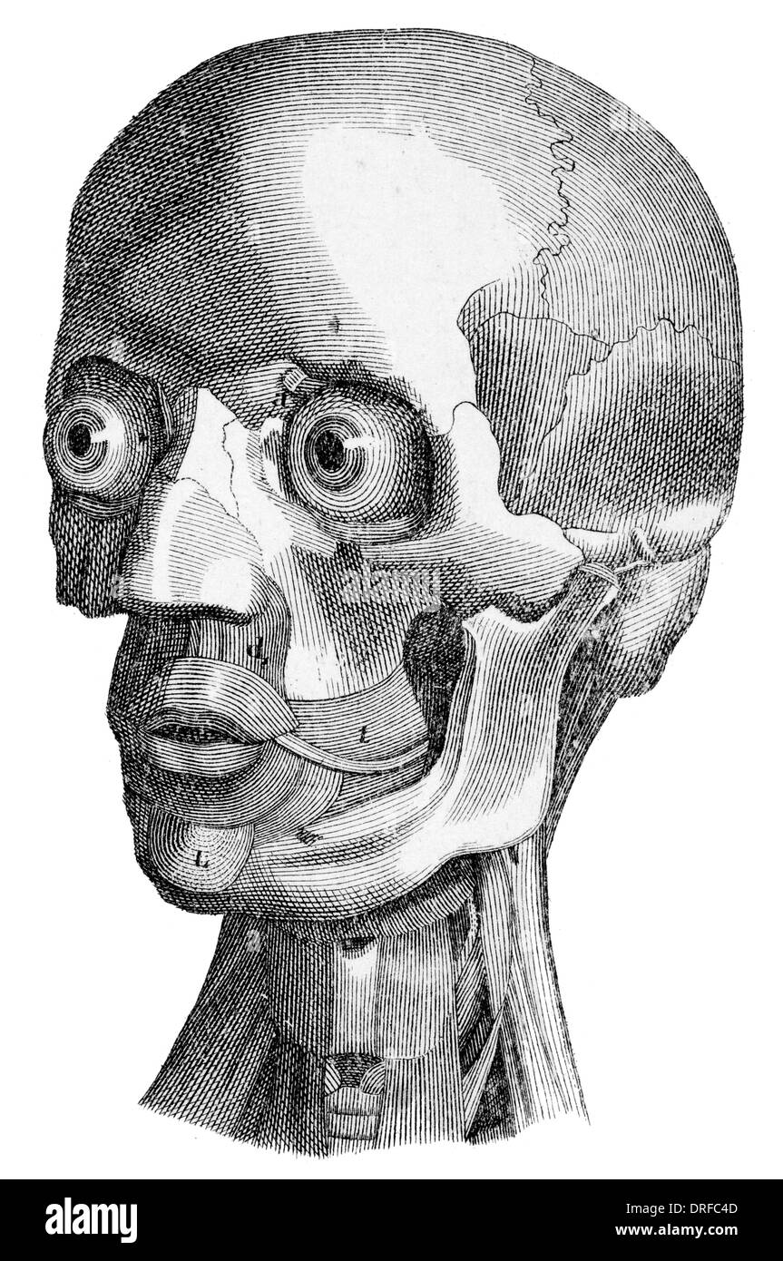 La estructura ósea de la cabeza humana Imagen De Stock