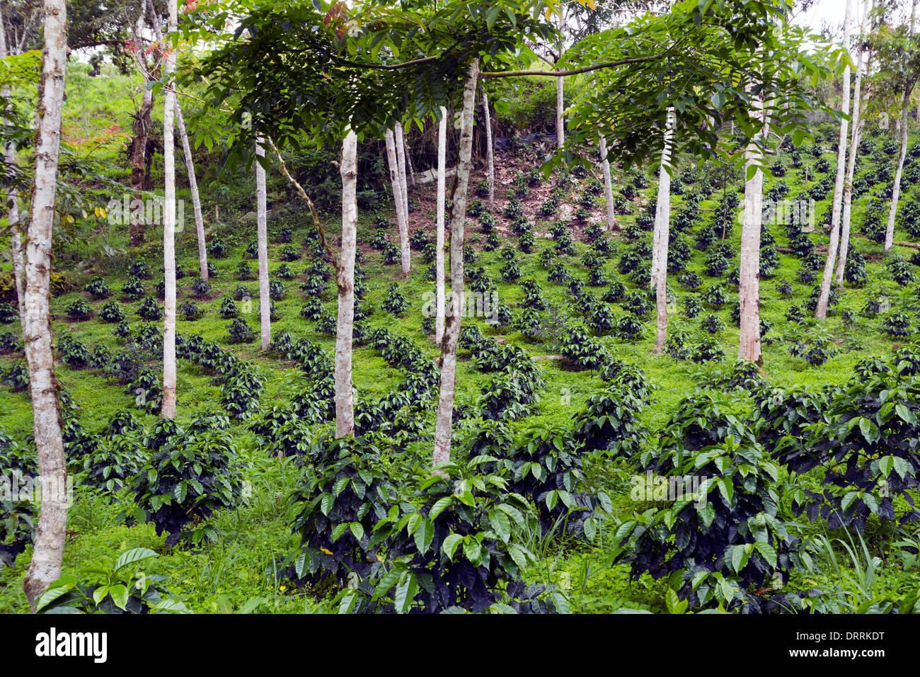 los arbustos de caf cultivado a la sombra en una. Black Bedroom Furniture Sets. Home Design Ideas
