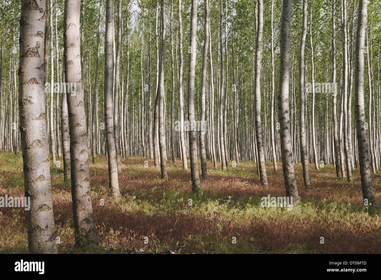 Oregon USA poplar plantación de árboles o el bosque en Oregón, EE.UU. Imagen De Stock