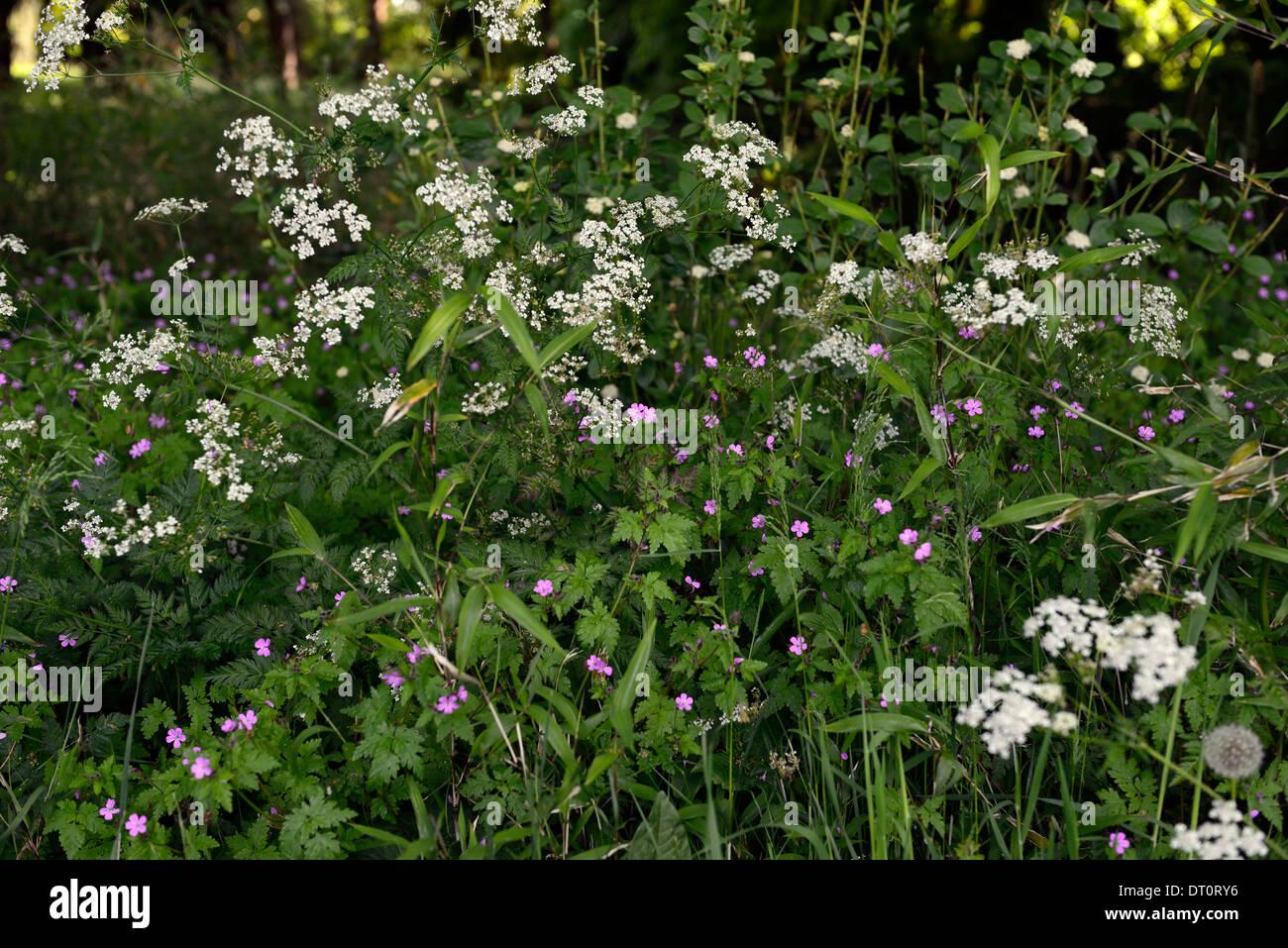 Anthriscus Sylvestris Flores Blancas Geranium Robertianum Perejil