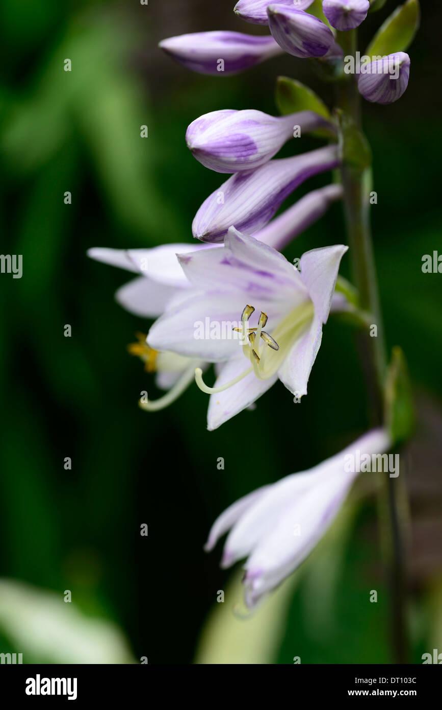 Hosta Fortunei Flores Flores Flores Plantas Amantes De La Sombra - Flores-de-sombra