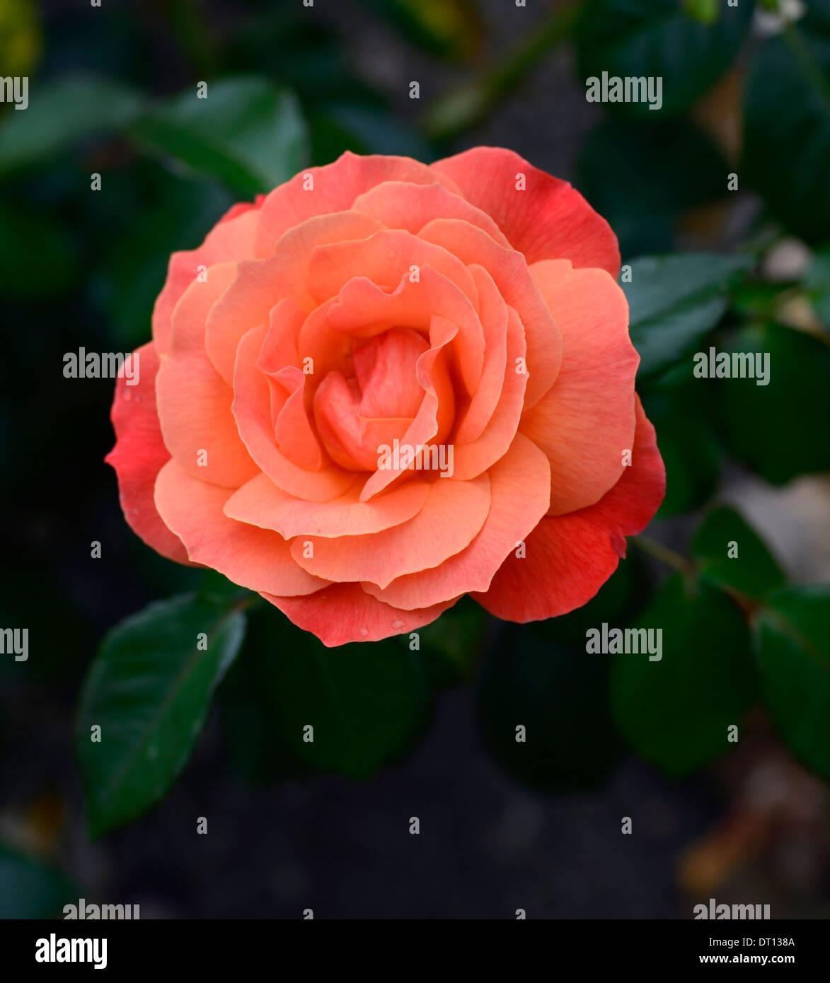 Becas arbusto Harwelcome rosa rosas rosas flores de naranja flor floración floración Imagen De Stock