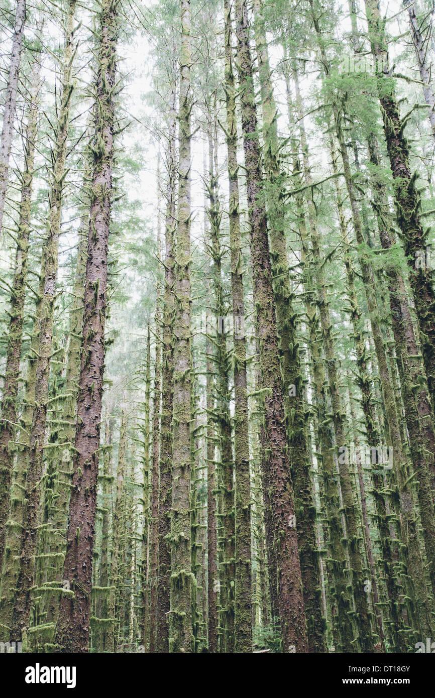 El Parque Nacional Olímpico en Washington, EE.UU. La picea de Sitka y Hemlock Occidental árboles rainforest Foto de stock