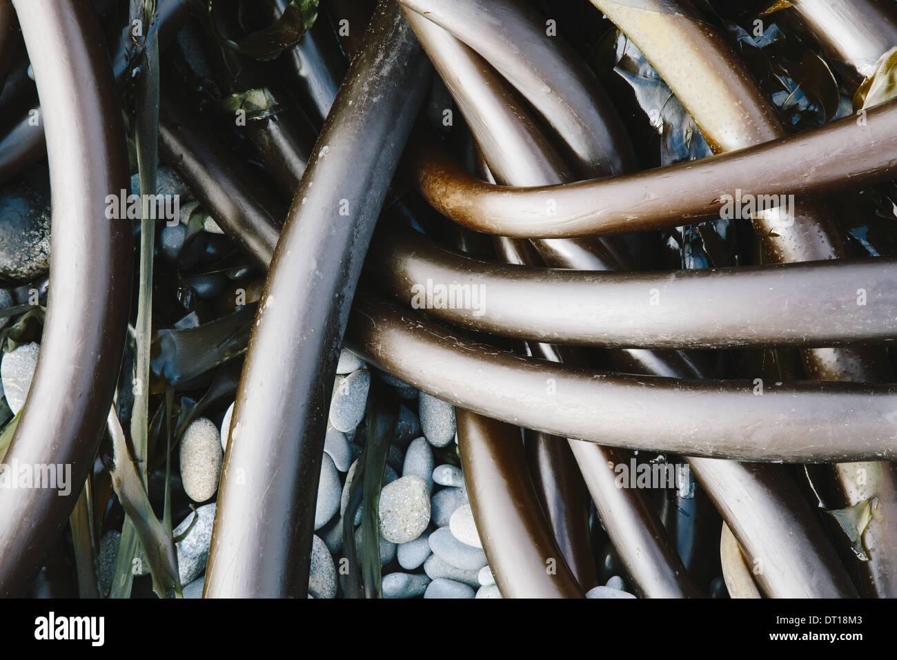Rialto Beach el Parque Nacional Olímpico en Washington, EE.UU. Montón de Bull algas kelp lavados en la playa Imagen De Stock