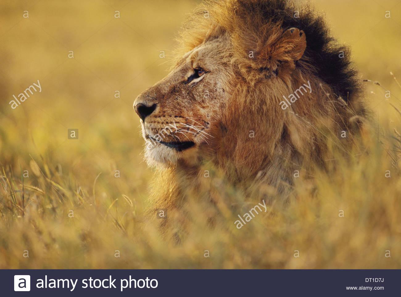Reserva de Masai Mara de Kenia masai de Kenya MarReserve Pantherleo León Imagen De Stock