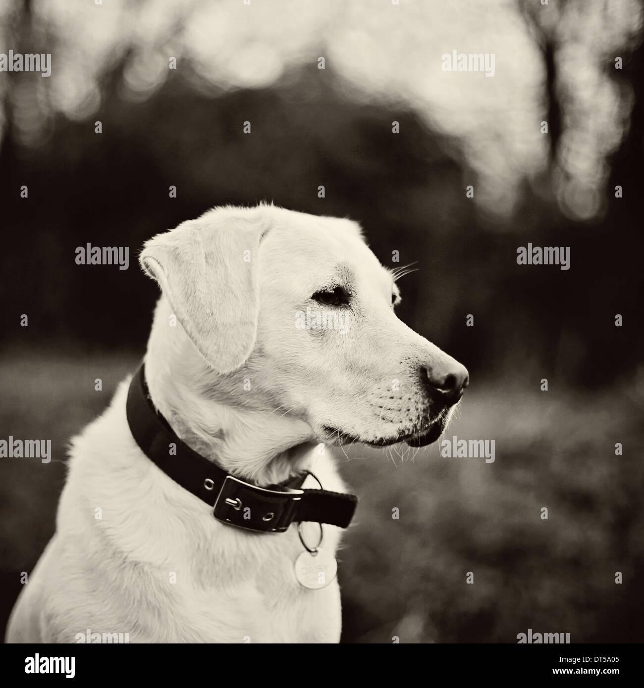 Cabeza de perro Labrador shot Imagen De Stock