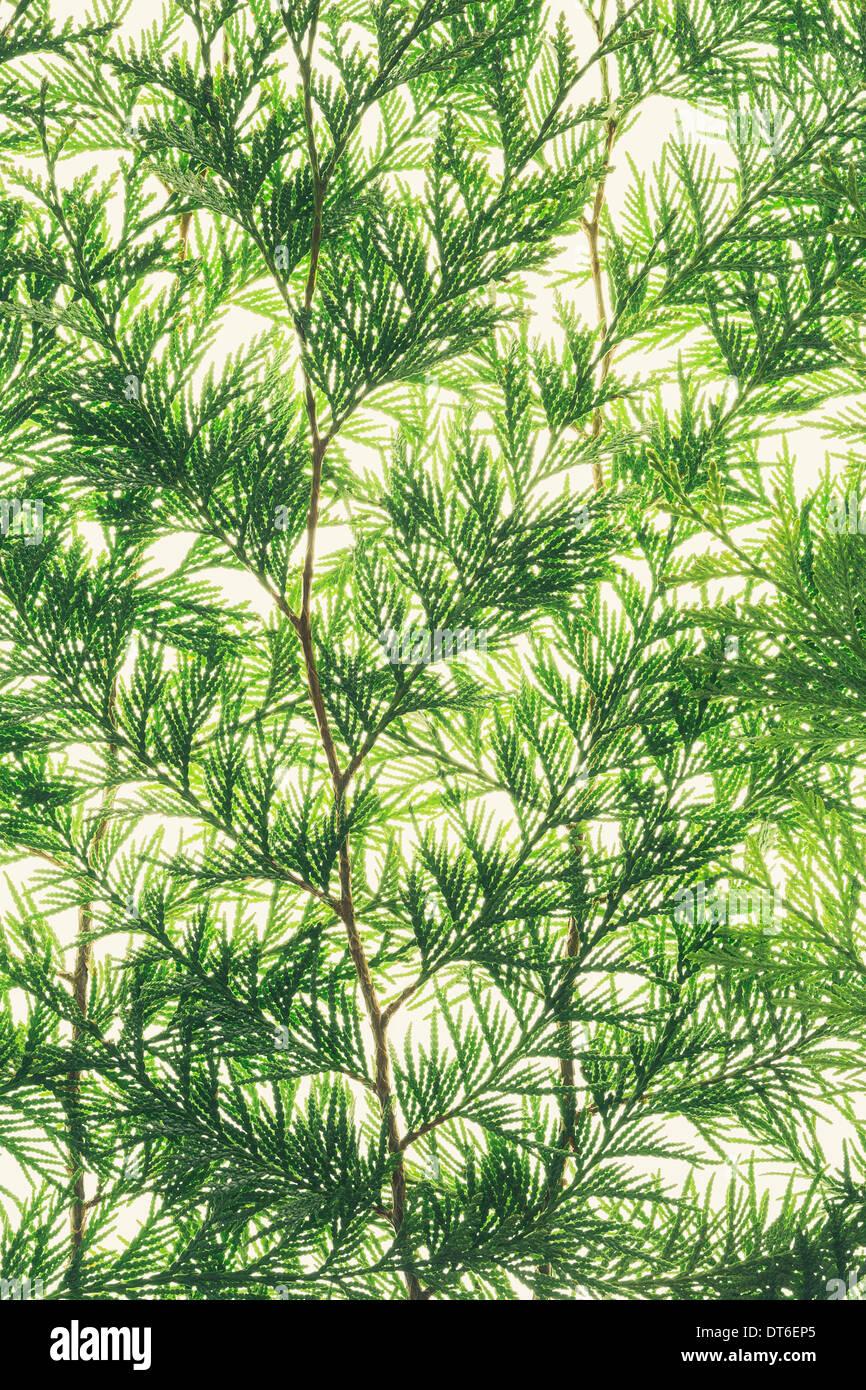 Rama de cedro rojo occidental, cerca de una rama verde con finas hojas de forma lineal, sobre un fondo blanco. Imagen De Stock