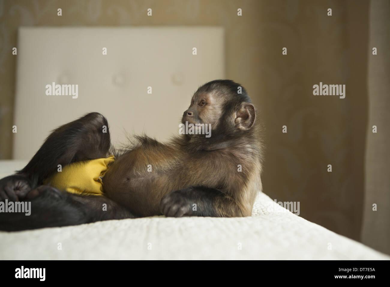 Mono Capuchino acostado en una cama en un hogar de Austin, Texas, EE.UU. Imagen De Stock