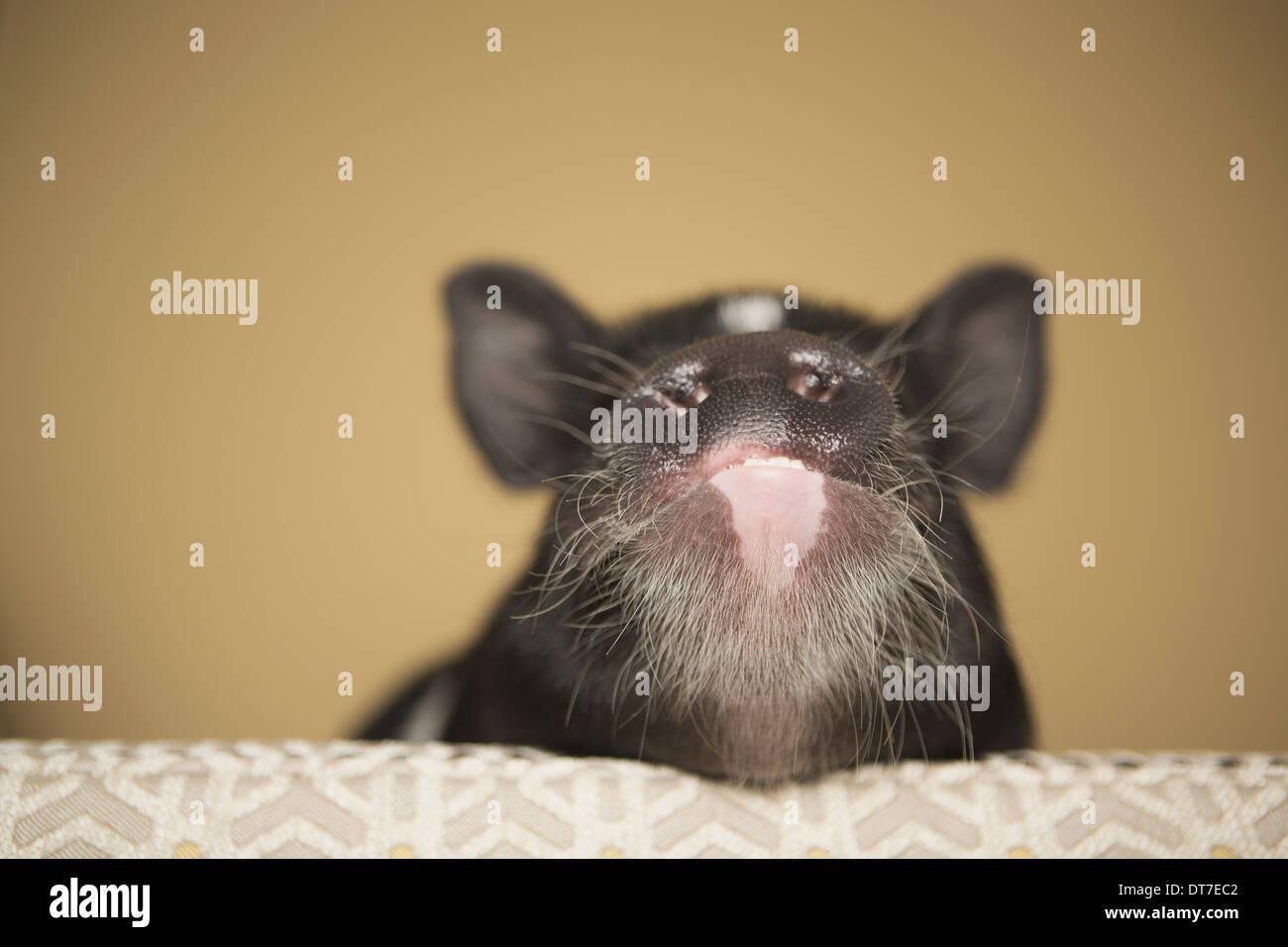 Un pequeño cerdo mirando sobre el borde de una cama en una casa interna de Austin, Texas, EE.UU. Imagen De Stock