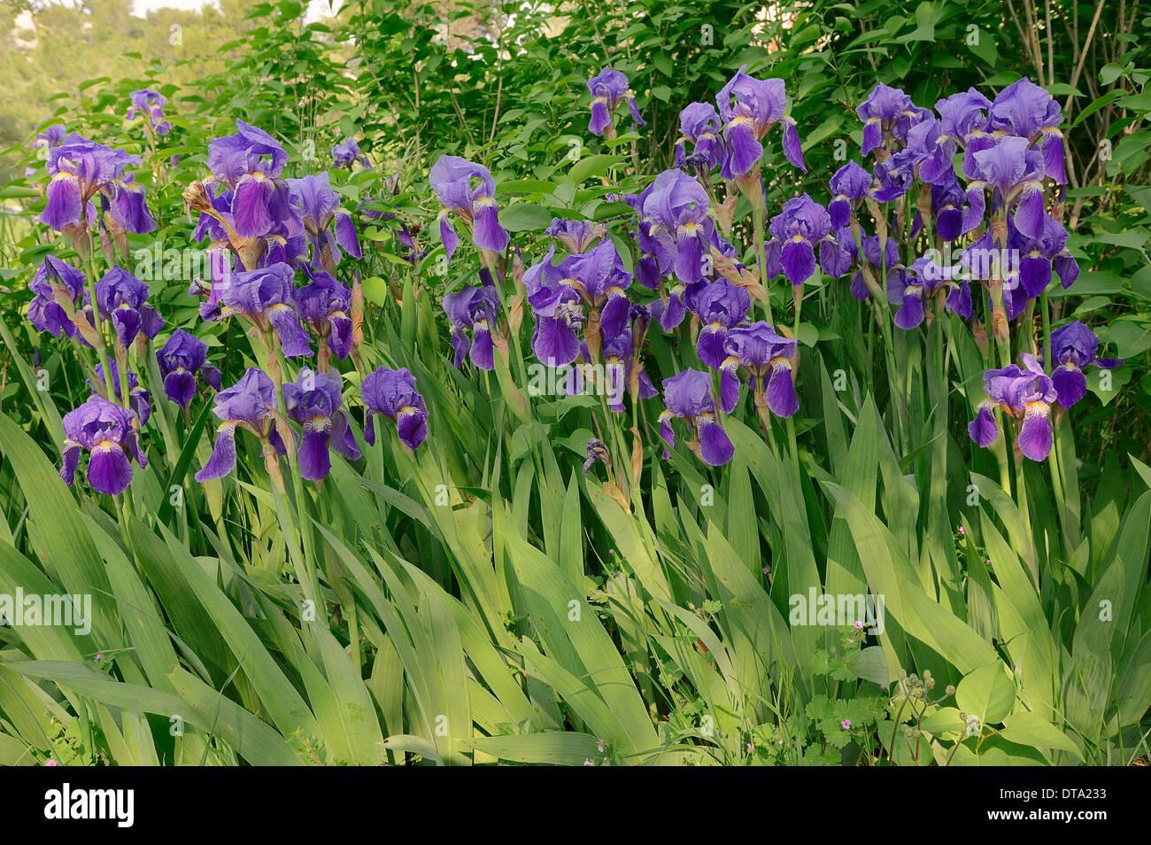 Altura media Barbada (Iris barbata-media hybride), Provenza, en el sur de Francia, Francia Foto de stock