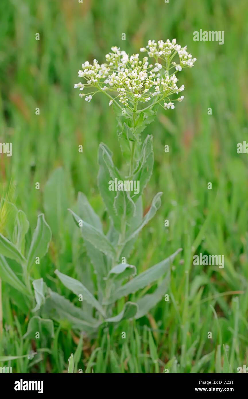 Whitetop (Lepidium draba, Cardaria draba), Provenza, en el sur de Francia, Francia Foto de stock