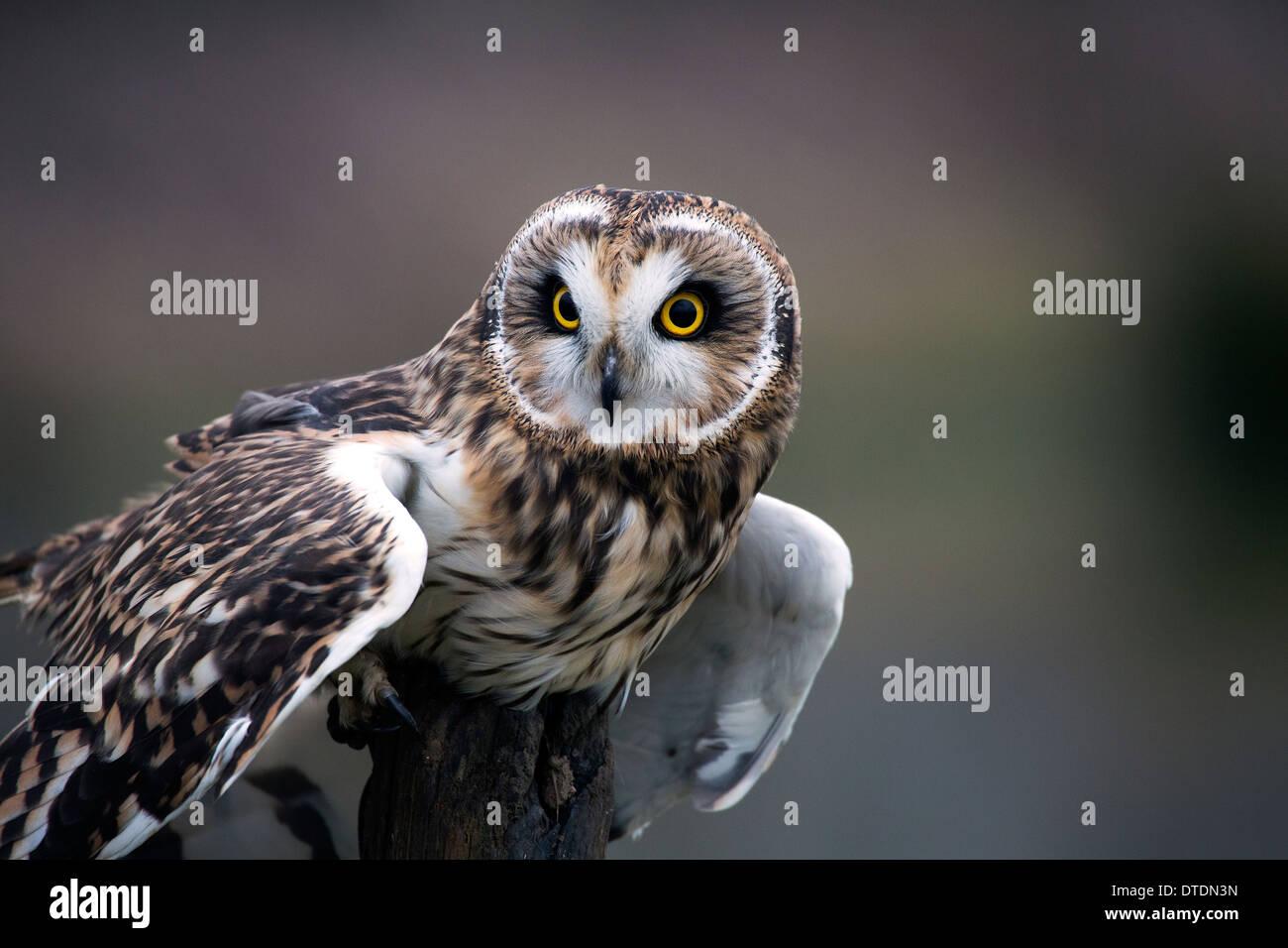 Owl retrato Imagen De Stock