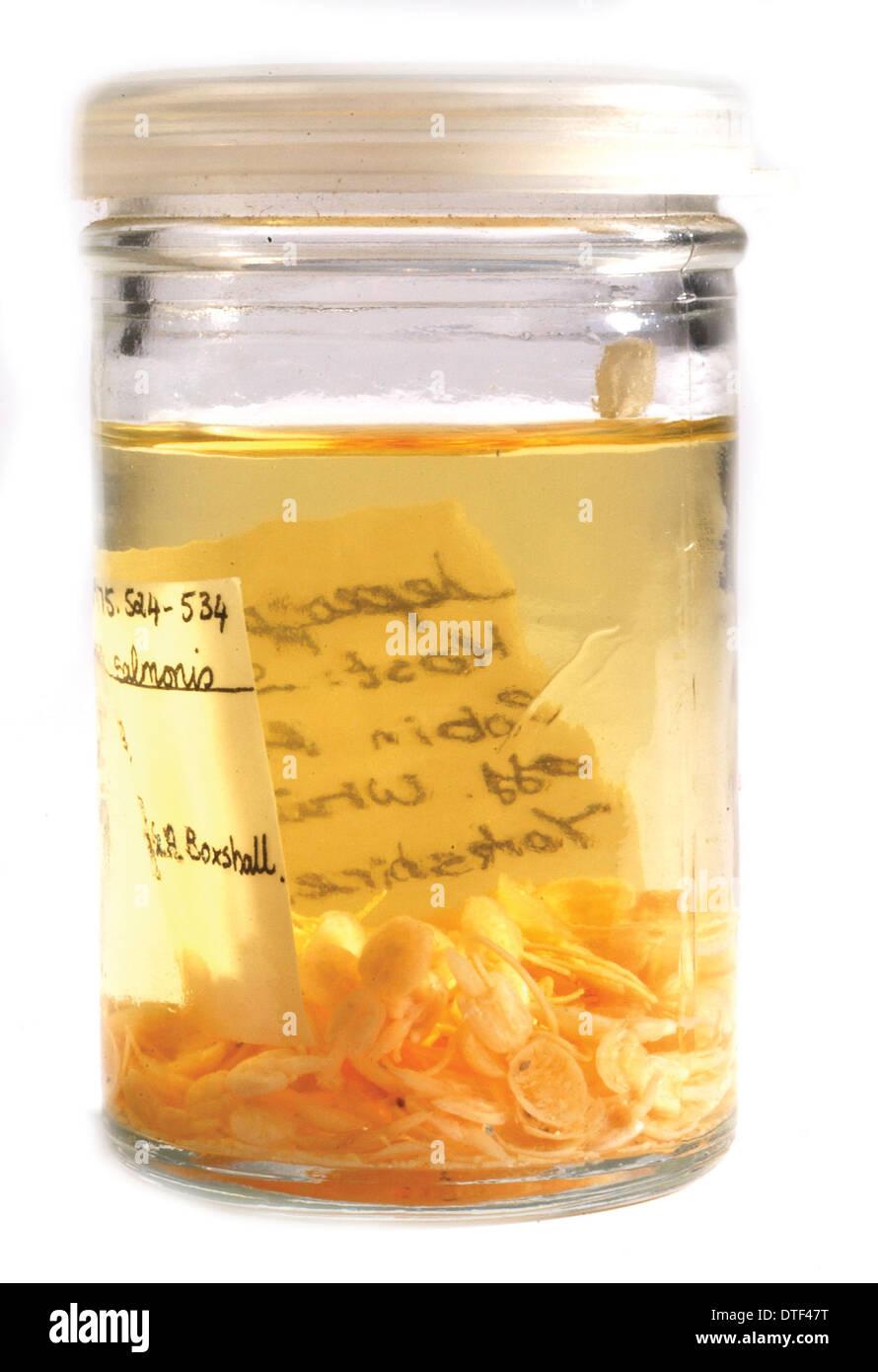 Parásito copépodo Foto de stock