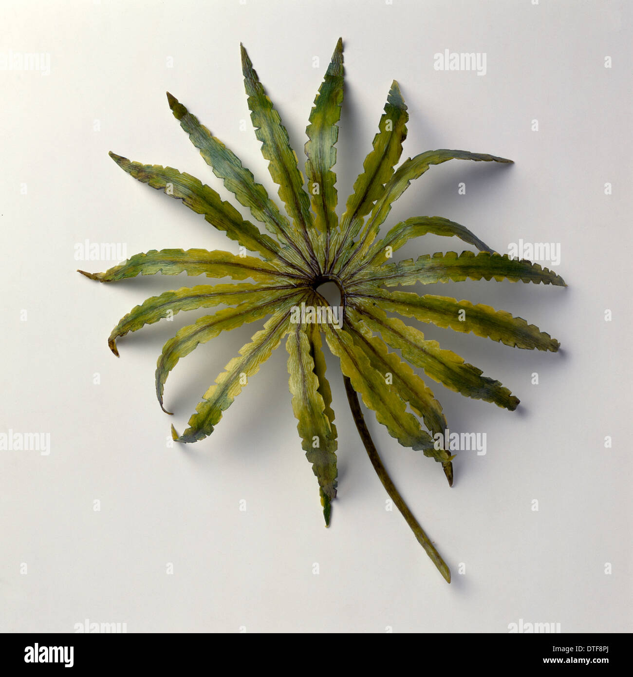Gleichenites, finales del Jurásico fern Imagen De Stock