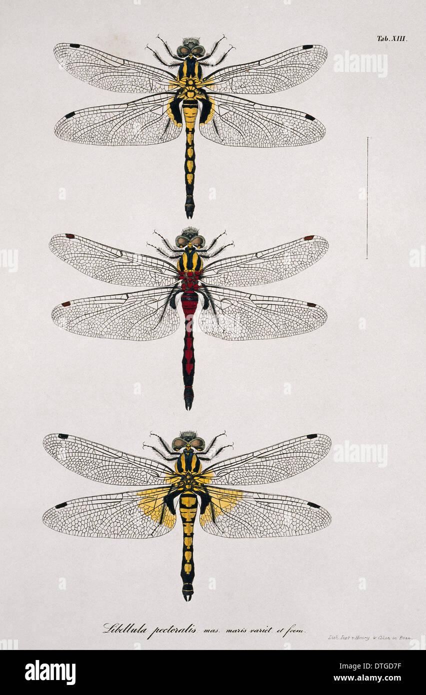 Lámina 13 desde Libellulinae Europaeae por de Charpentier Imagen De Stock