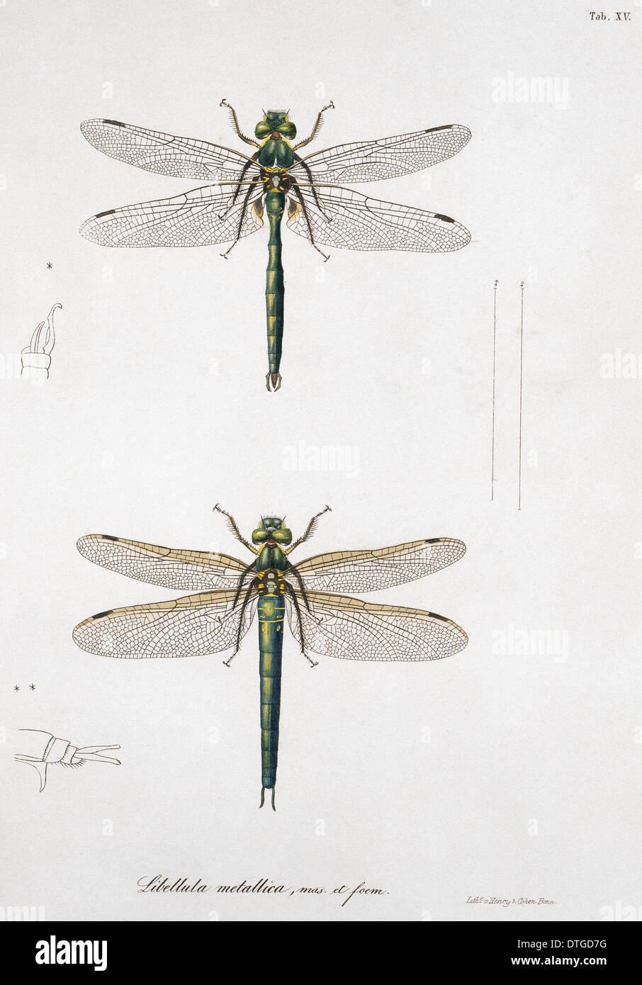 15 Chapa de Libellulinae Europaeae por de Charpentier Imagen De Stock