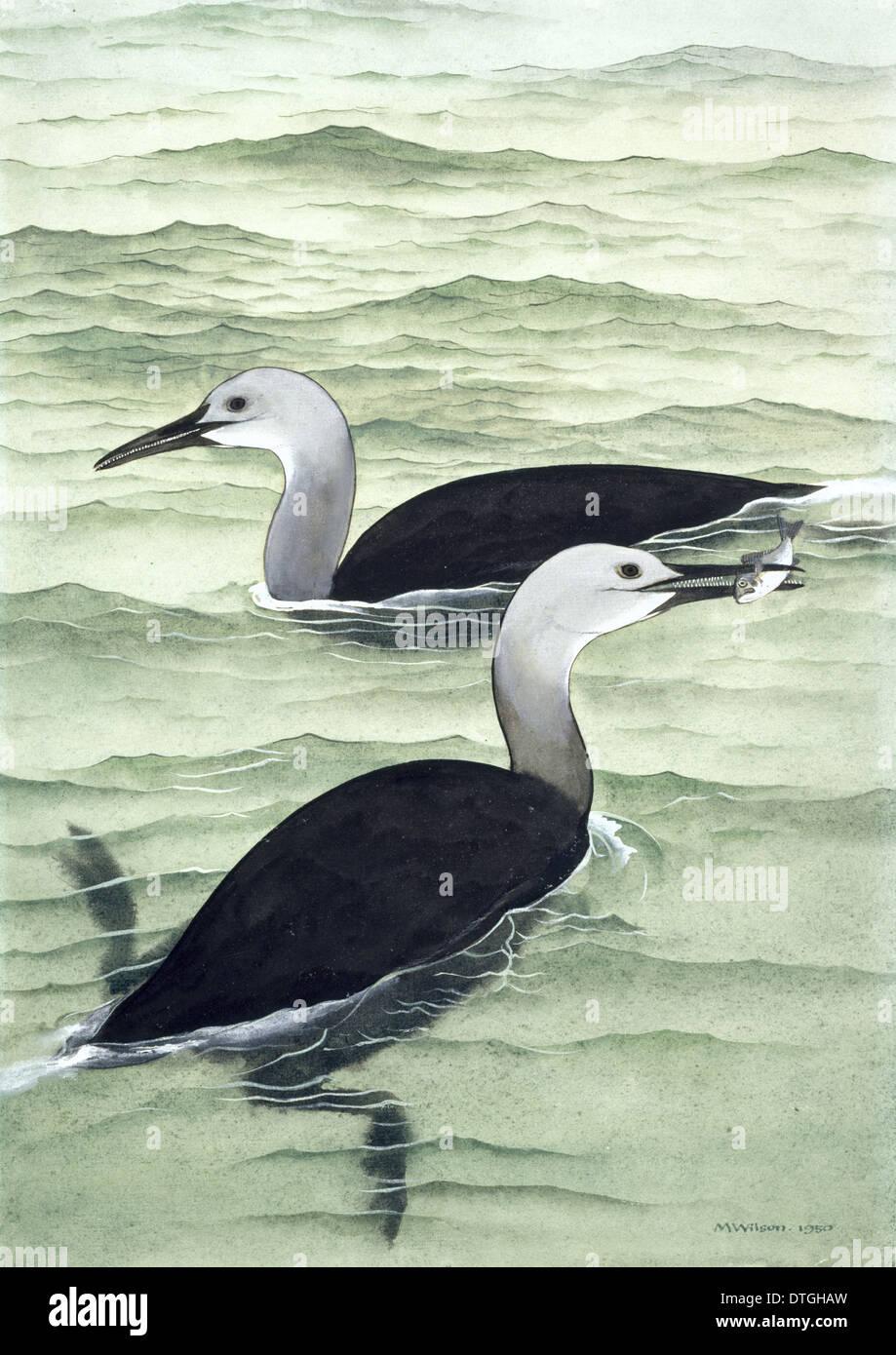 Hesperornis regalis, Cretaceous Bird Imagen De Stock