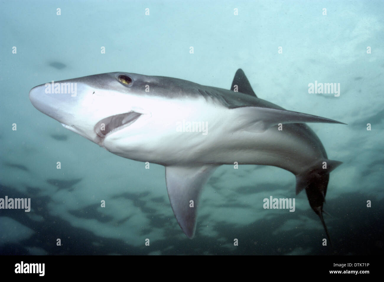Tope Shark Imágenes De Stock & Tope Shark Fotos De Stock - Alamy