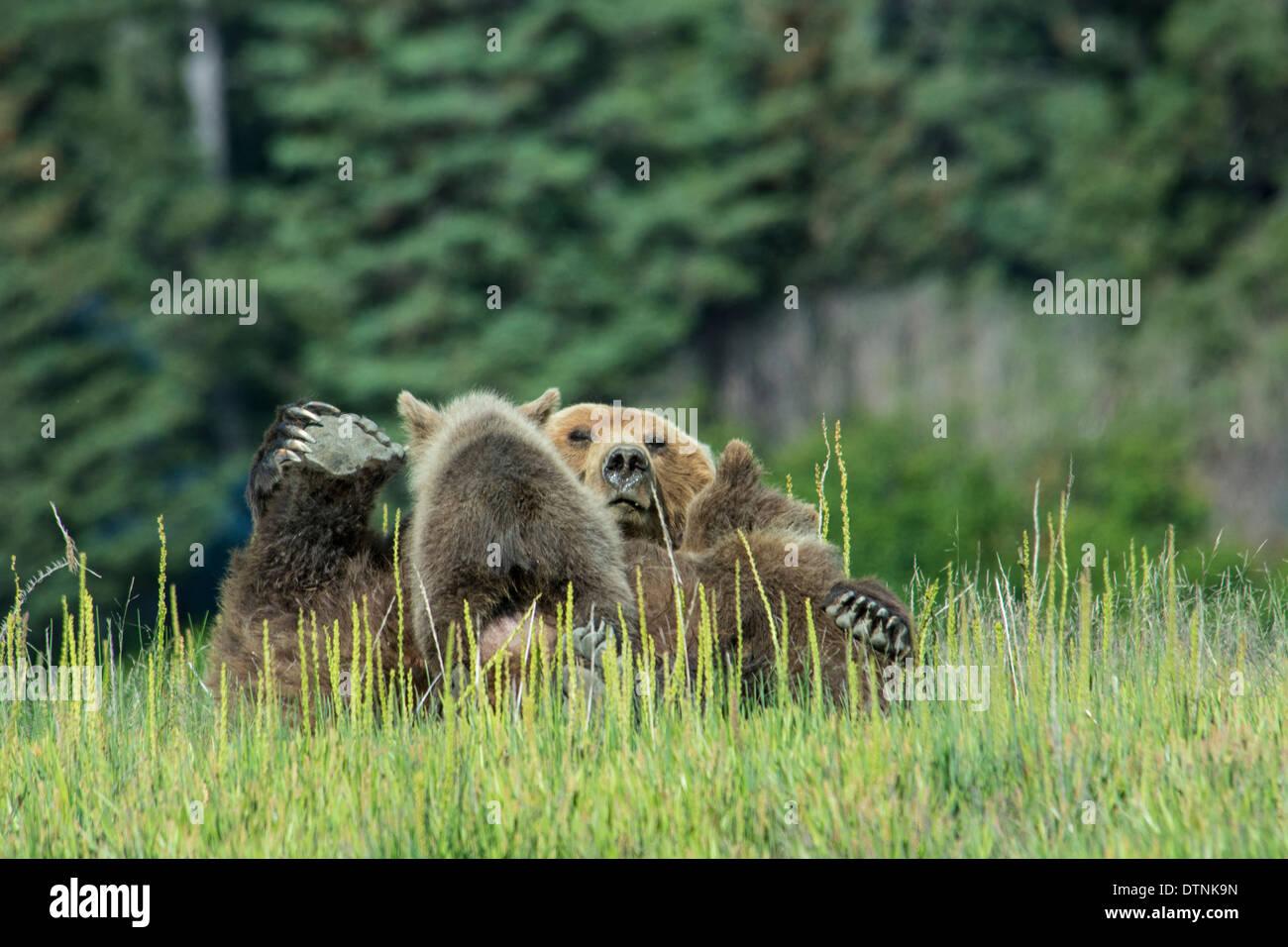 Grizzly Bear Sow, Ursus arctos, sobre su espalda, enfermería dos cachorros de primavera, el Parque Nacional Lake Clark, Alaska, EE.UU. Imagen De Stock