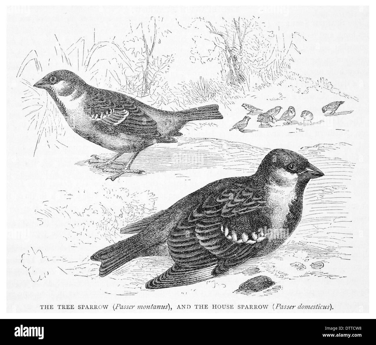 Tree sparrow Passer montanus y el gorrión Passer domesticus Foto de stock