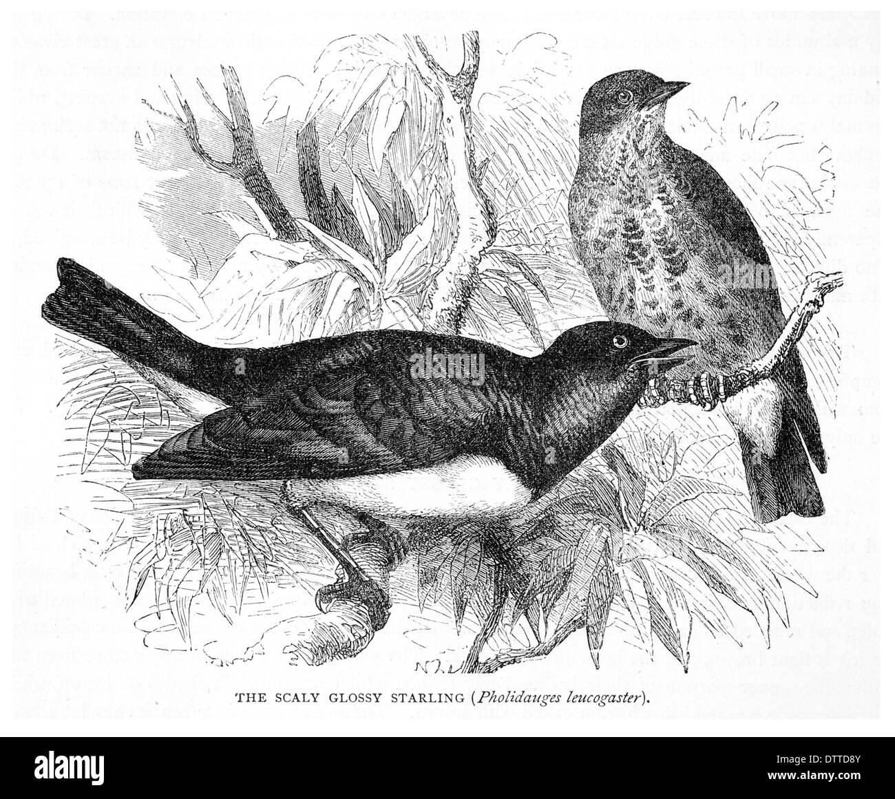 Satinado escamoso Starling Pholidauges leucogaster Imagen De Stock