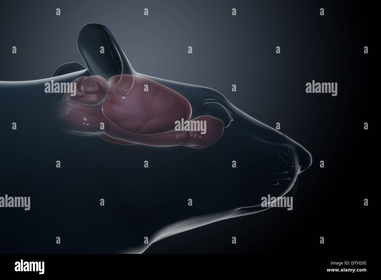 Anatomía del cerebro de rata Foto & Imagen De Stock: 66988250 - Alamy