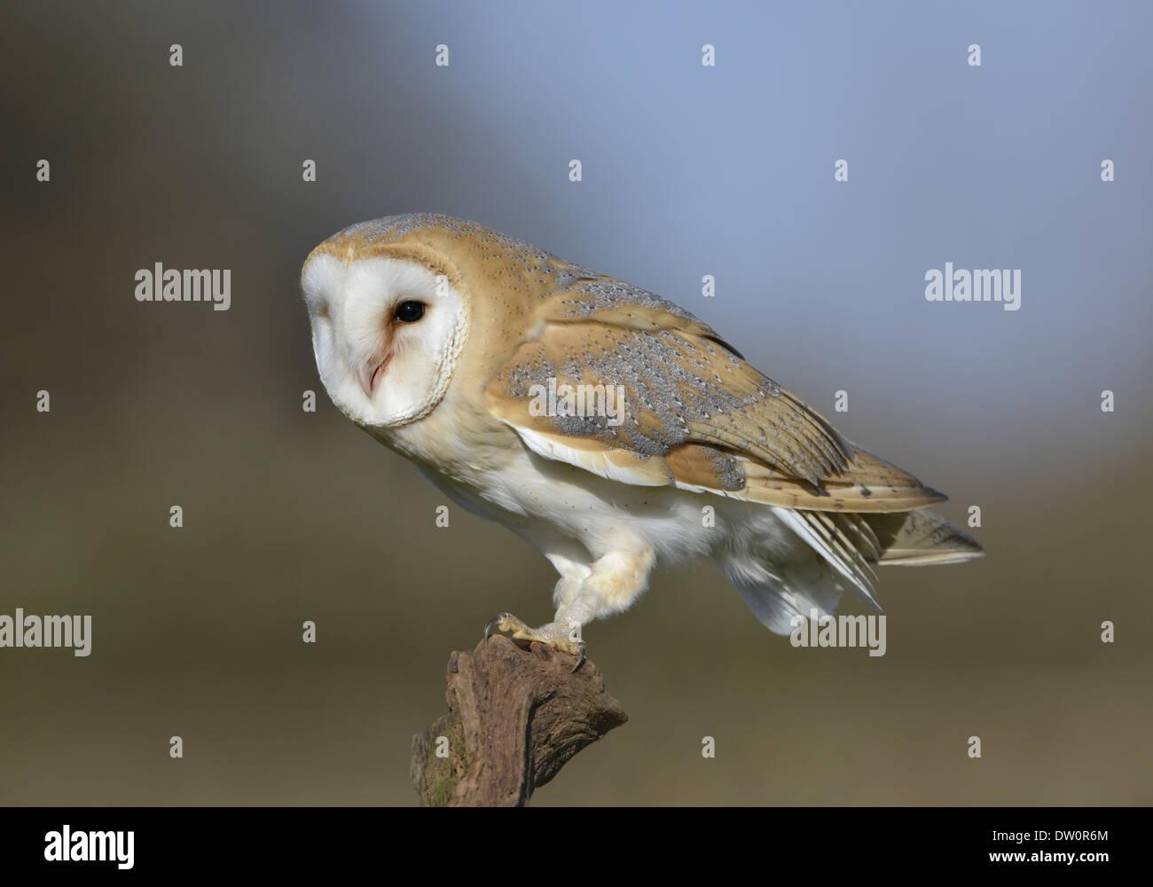 Lechuza Tyto alba Imagen De Stock