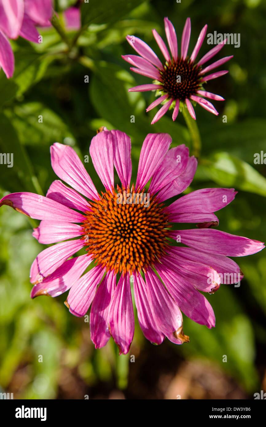 Close-up de Coneflower púrpura rosa en flor Foto de stock