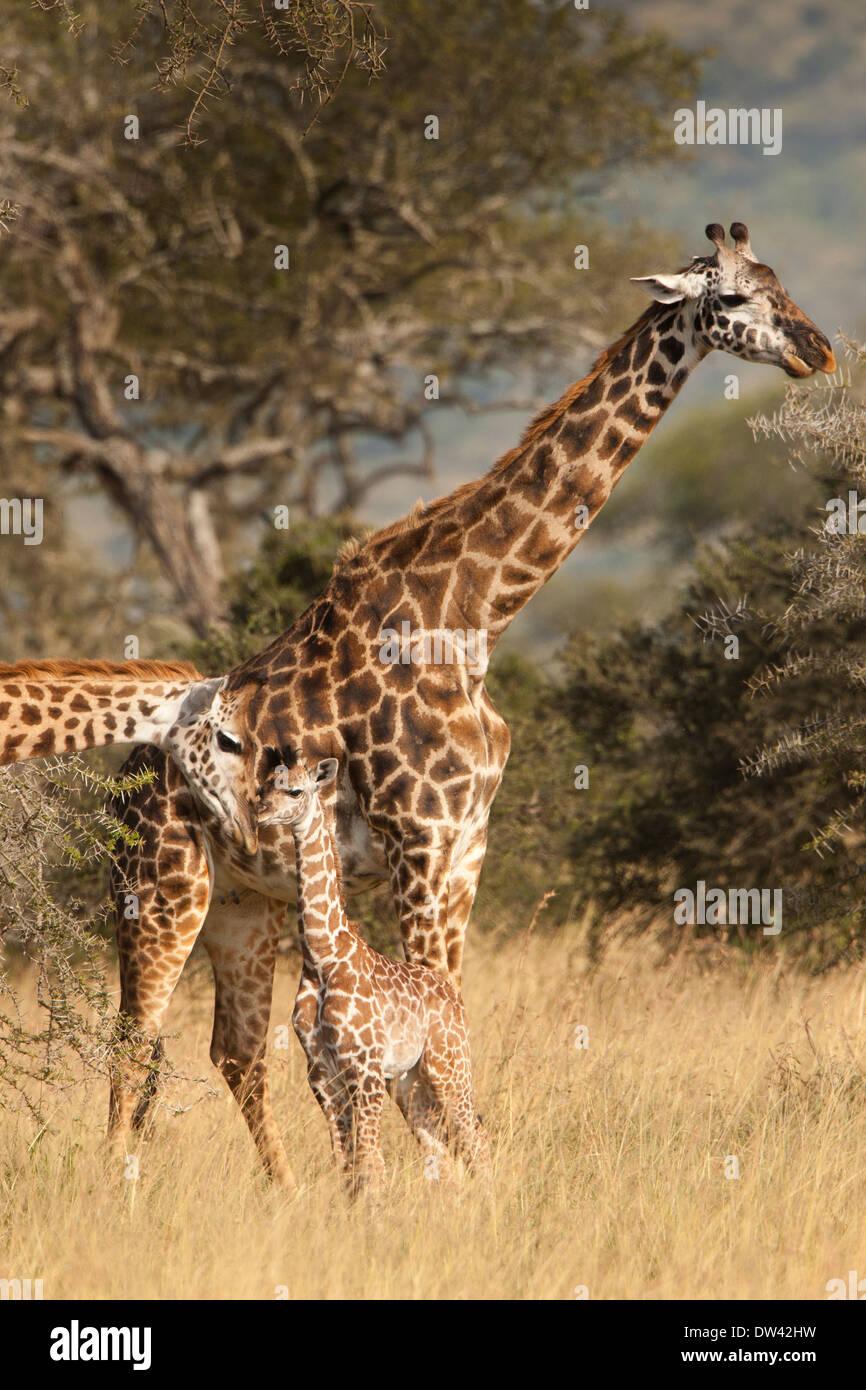 Los masai o planicies familia jirafa Imagen De Stock