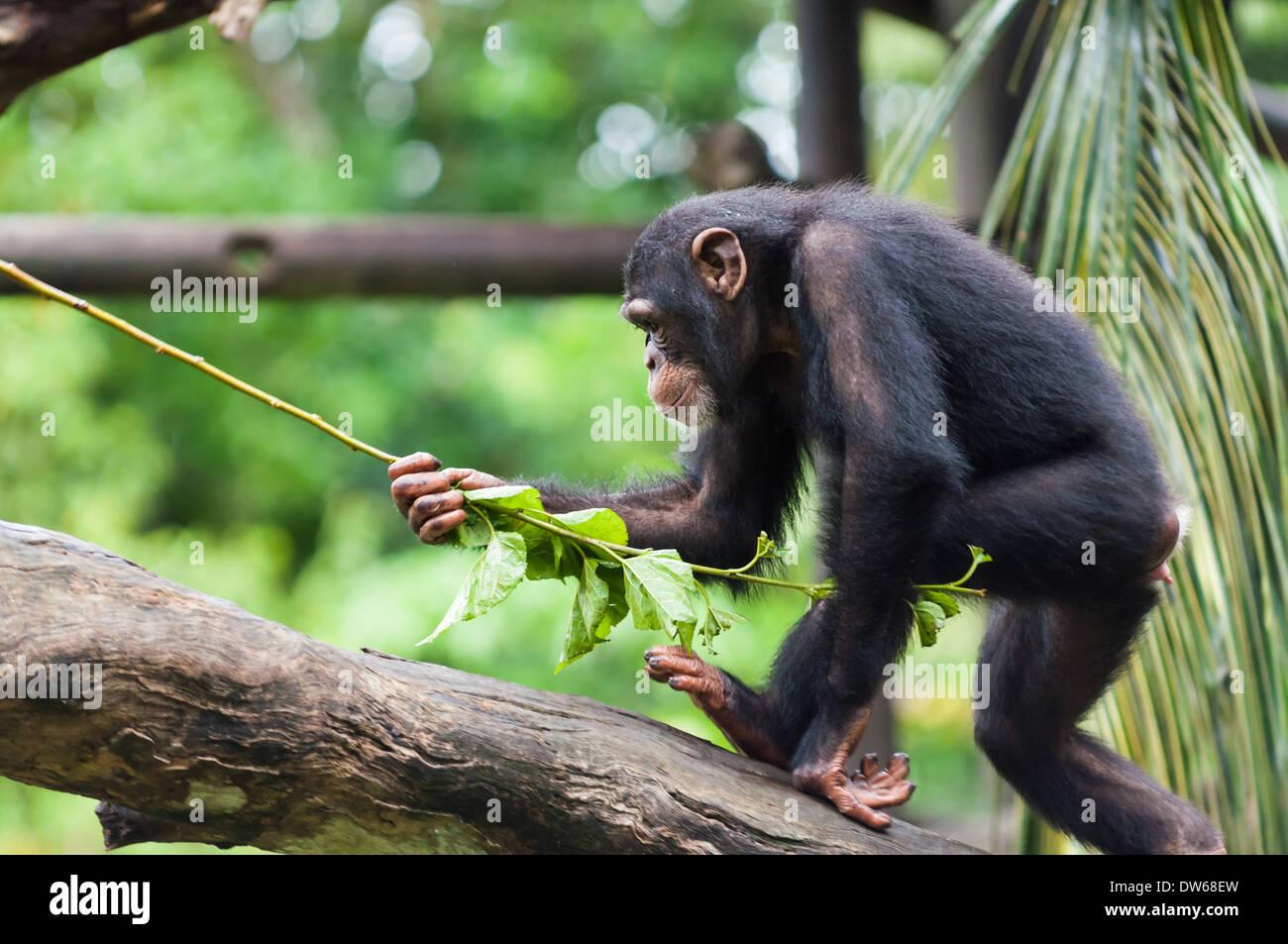 Chimpancé común en el Zoo de Singapur. Imagen De Stock