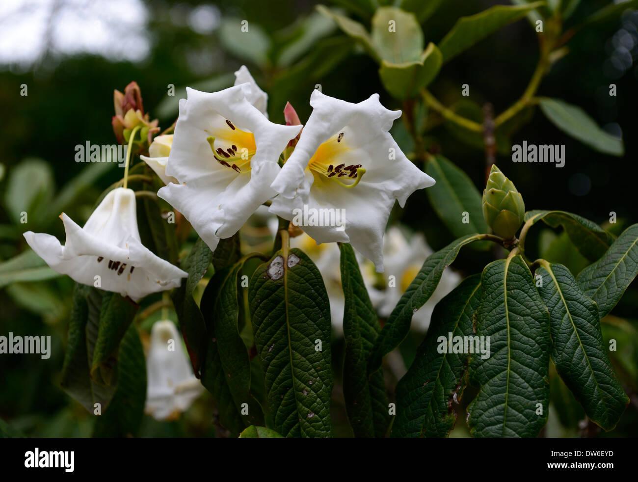 Rhododendron mi amor flores blancas flores amarillas flores garganta perenne follaje de hojas verdes árboles árbol Imagen De Stock
