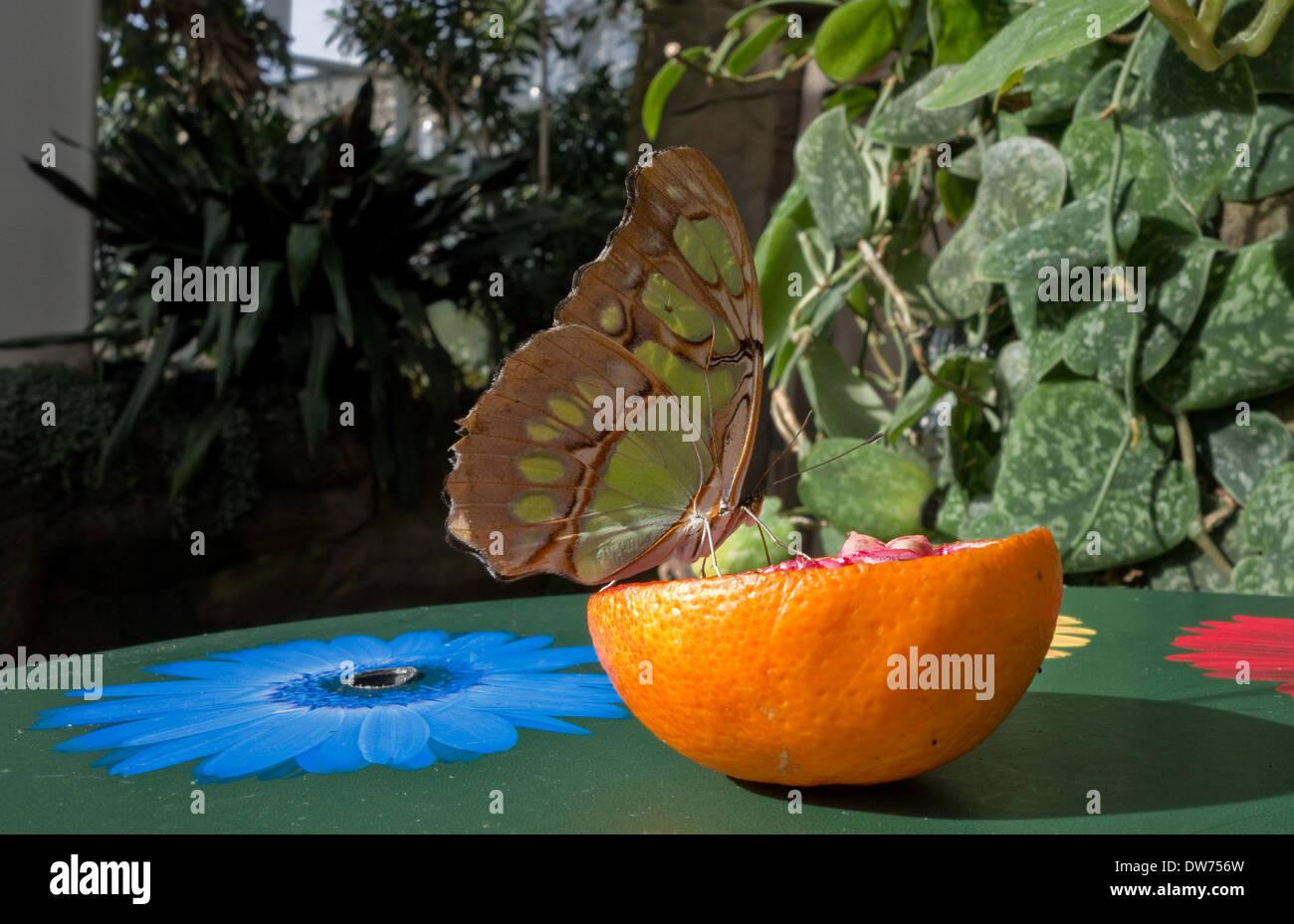 Malaquita mariposa sobre una naranja -1 Foto de stock