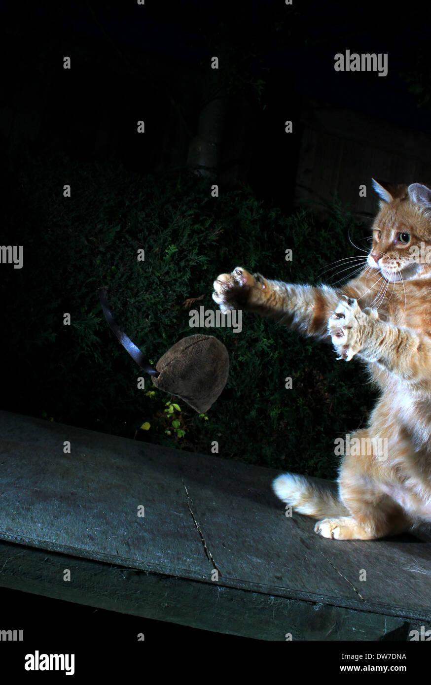 Jengibre Gato jugando con el ratón de juguete Foto de stock