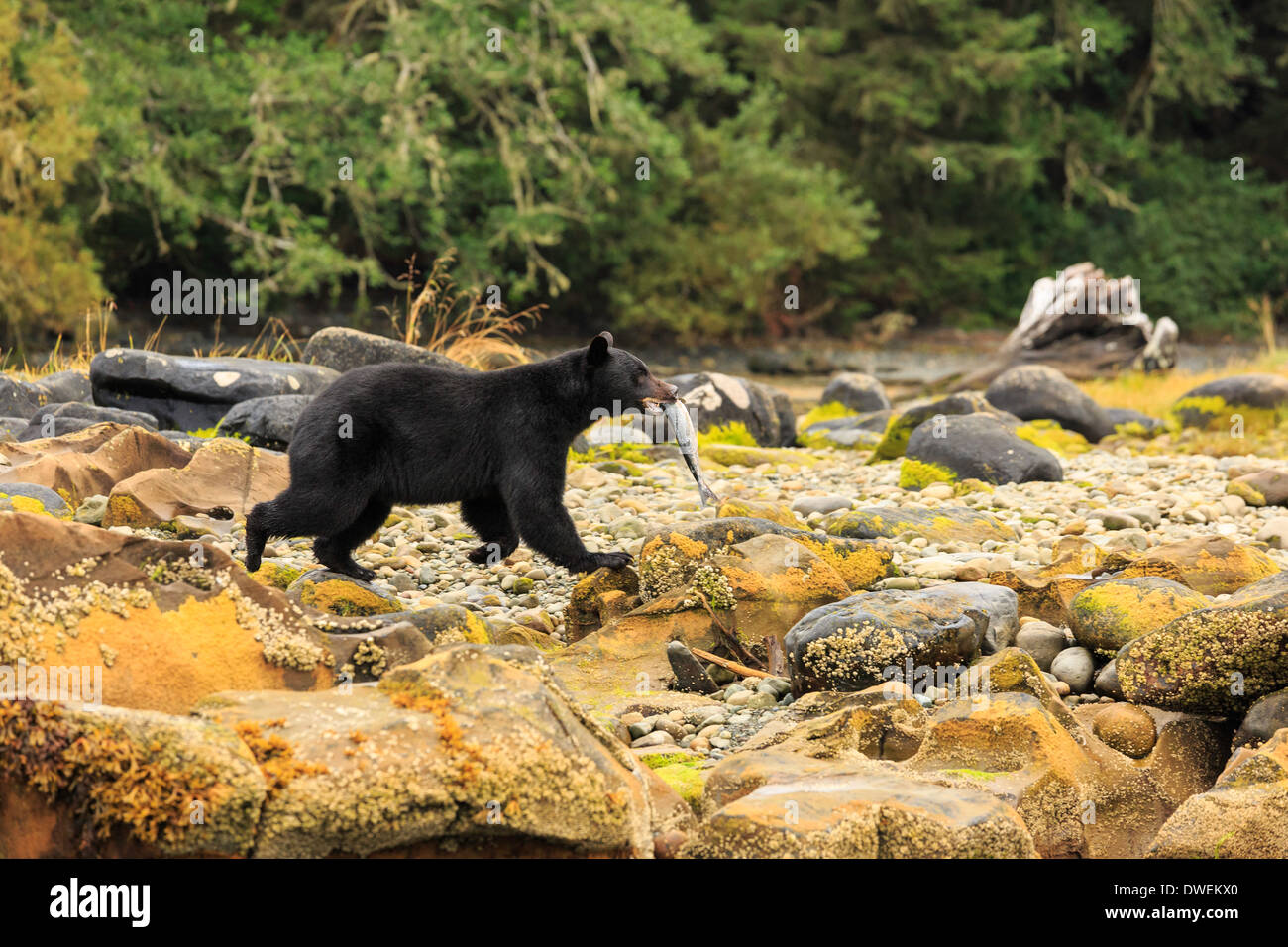 Un oso negro lleva su pescado recién capturado a lo largo de la playa costera en la isla de Vancouver. Imagen De Stock