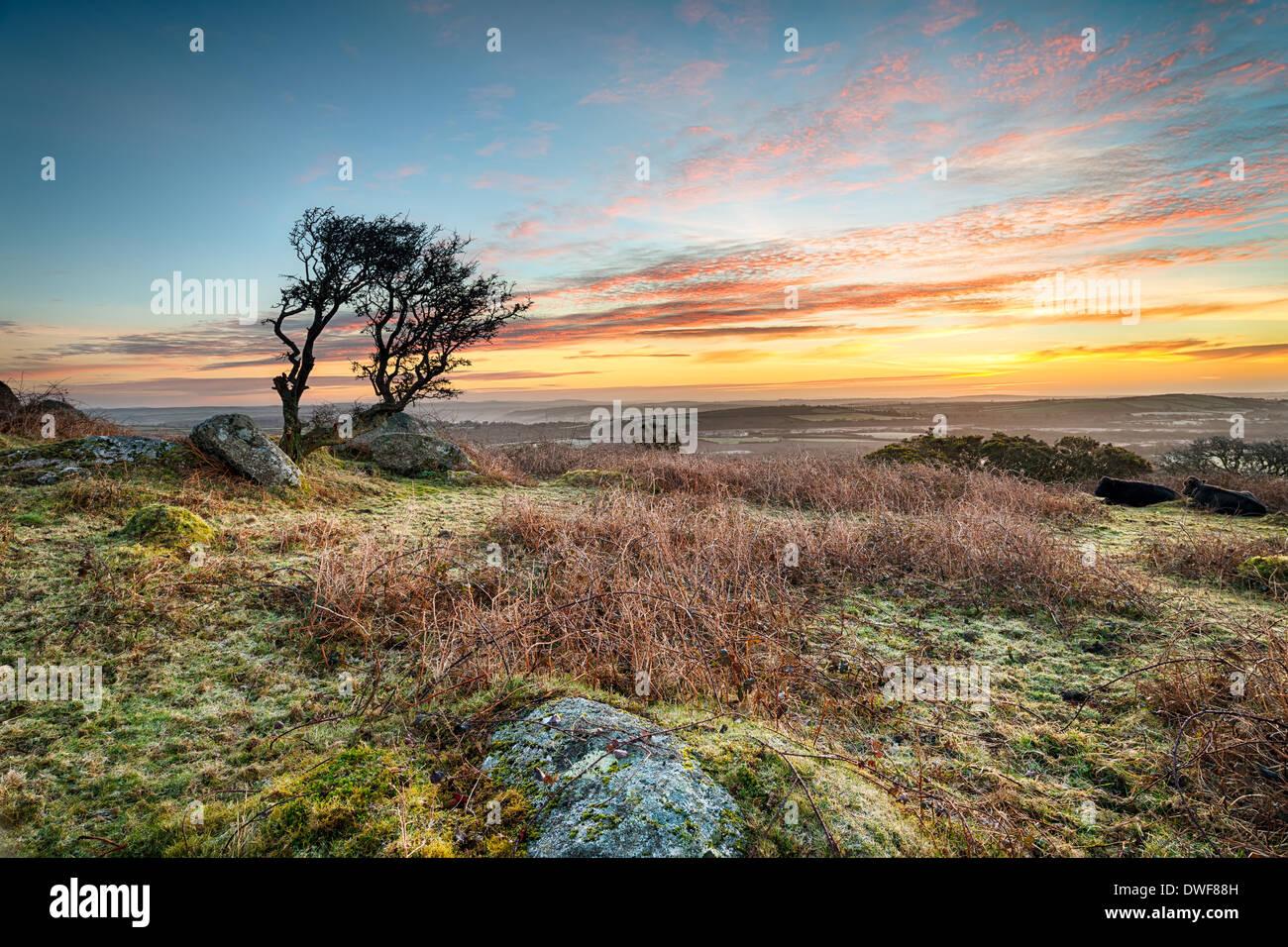 Una helada del amanecer en marzo Helman Tor un escarpado peñón de robustos moorland cerca de Bodmin en Cornwall. Imagen De Stock