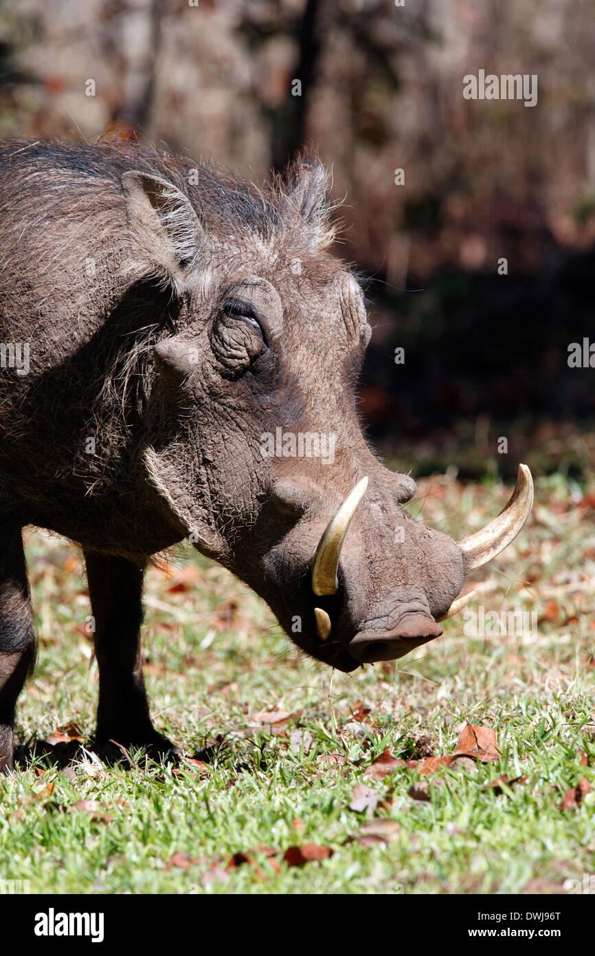 Wathog (Phacochoerus aethiopicus) en el casquillo en el noroeste de Zimbabwe Imagen De Stock