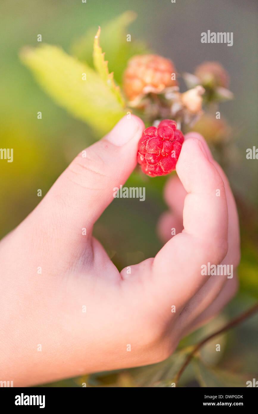Cerca de la mano del niño recogiendo frambuesas maduras a Bush en el jardín Foto de stock