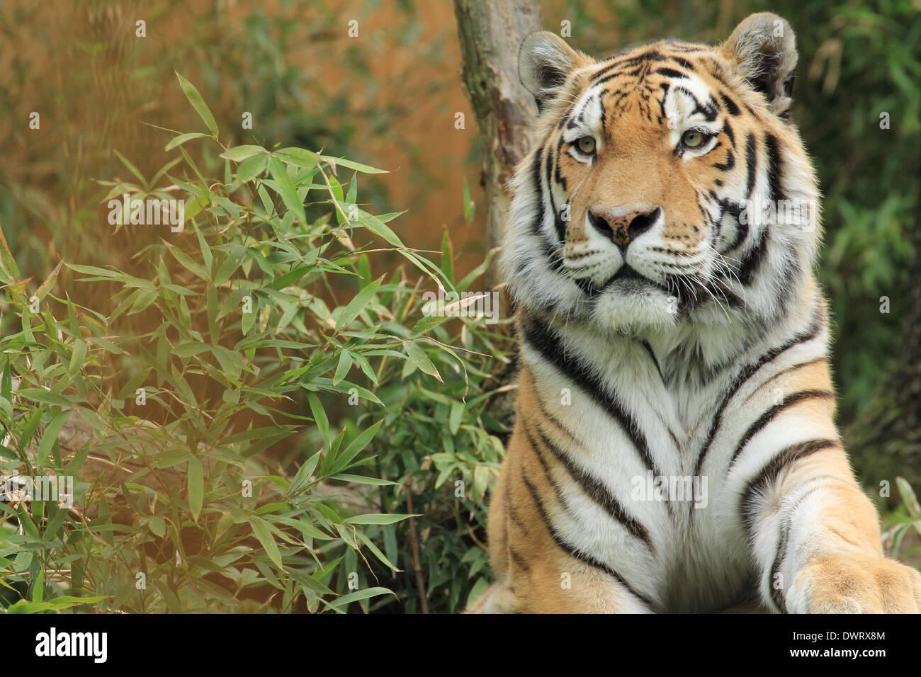 Tigre feroz Imagen De Stock
