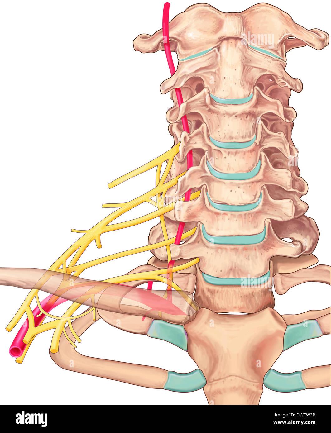 Vértebra cervical dibujo Foto & Imagen De Stock: 67544059 - Alamy