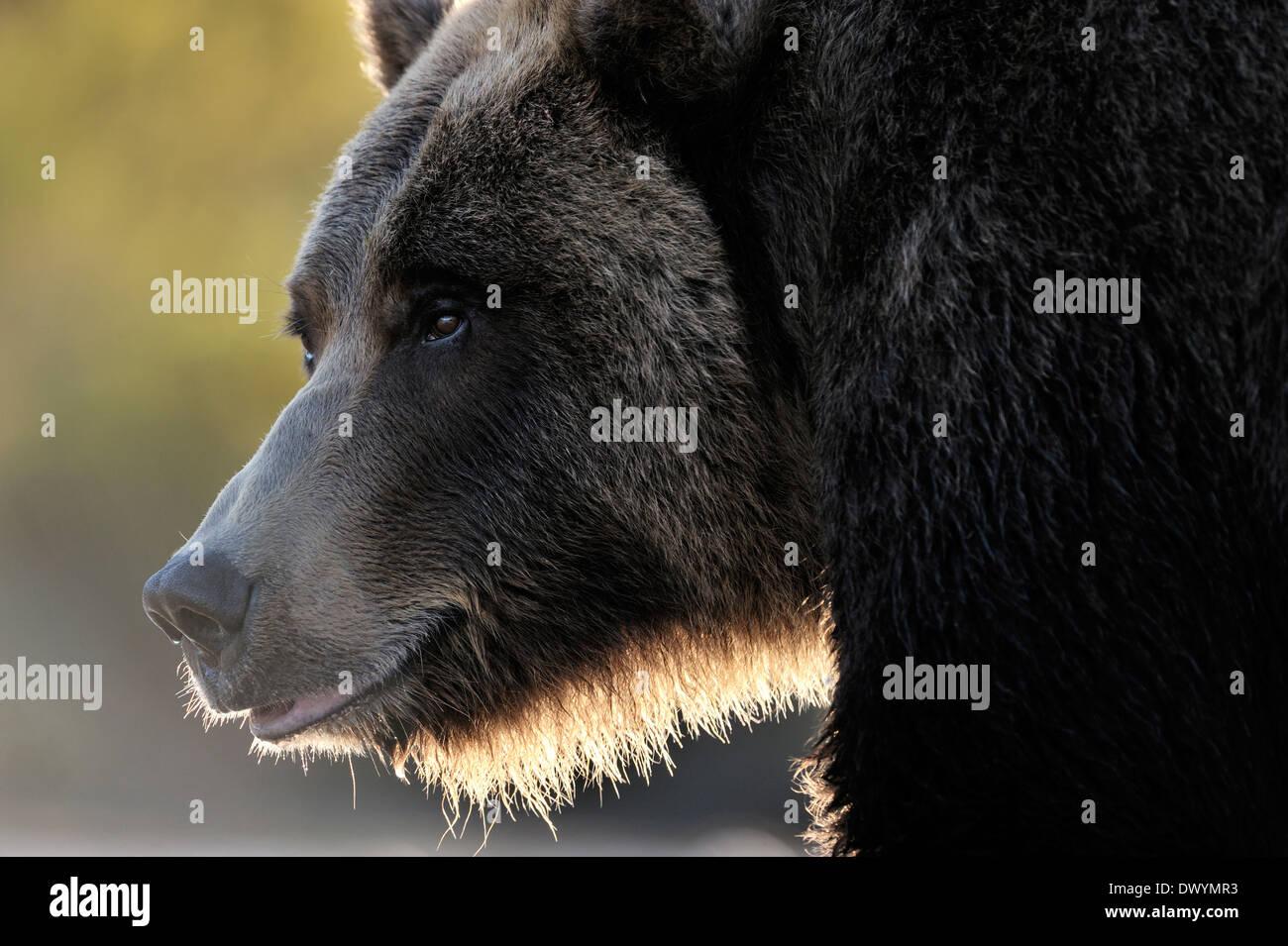 Oso grizzly (Ursus arctos horribilis) retrato con luz de fondo. Foto de stock