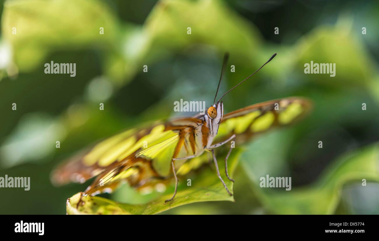 Malaquita (Siproeta stelenes), nativa de América del Sur, cautiva, casa de mariposas, un jardín botánico, Munich, Alta Baviera Foto de stock