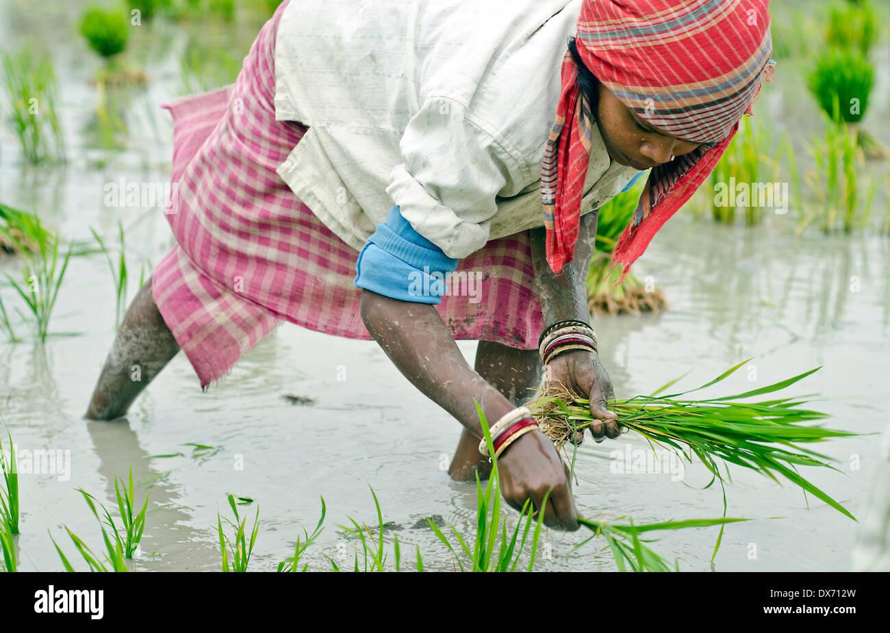 Plantación de arroz,Kamar pará,Bardhman dist. En Bengala occidental, India Foto de stock
