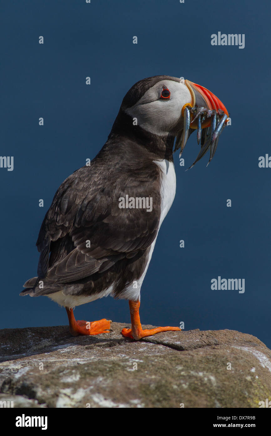 Fratercula arctica frailecillo con su pico lleno de lanzón Foto de stock
